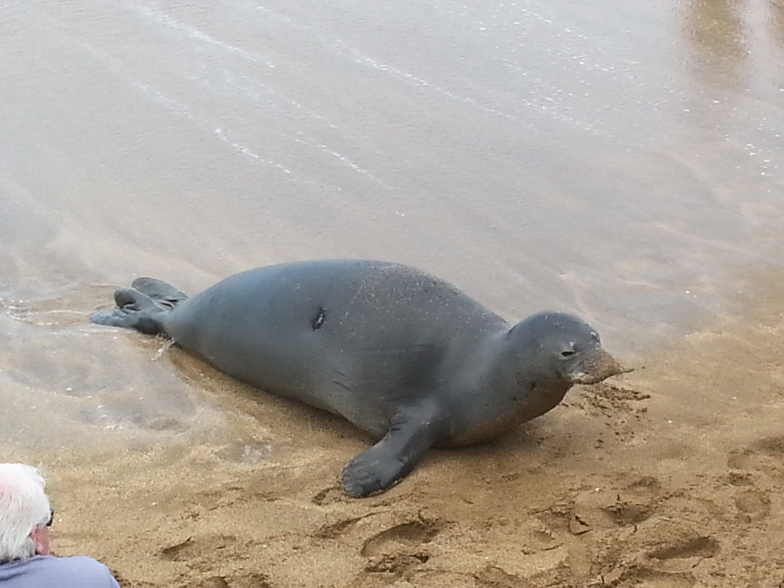 Hawaiian Monk Seal relaxes on the beach near Sands of Kahana Resort in West Maui